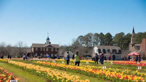 Tulip festival blooms with color